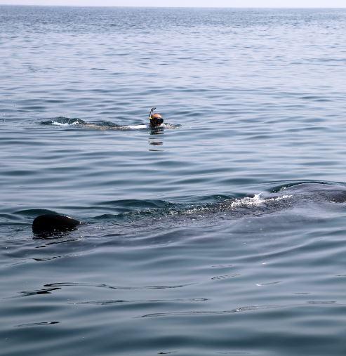 Zwemmen met walvishaaien cover