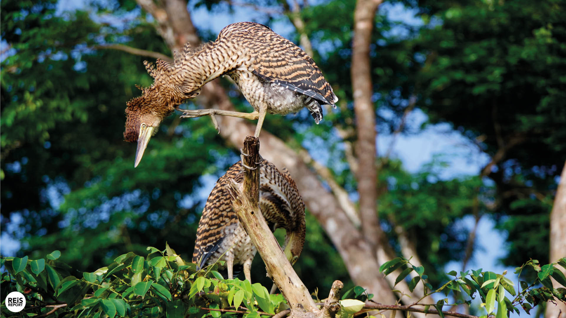 tortuguero vogels