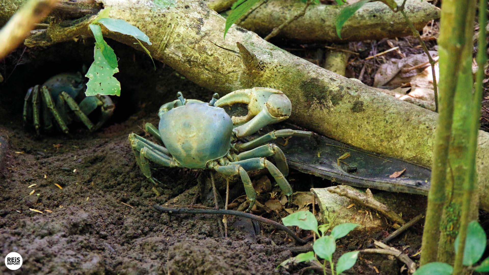 tortuguero krab