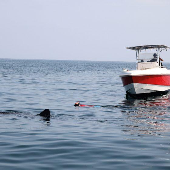 muscat walvishaaien zwemmen