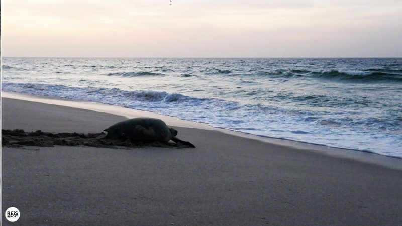 ras al jinz schildpadden oman13