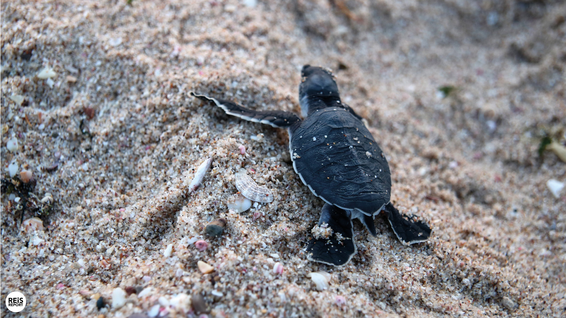 ras al jinz schildpadden