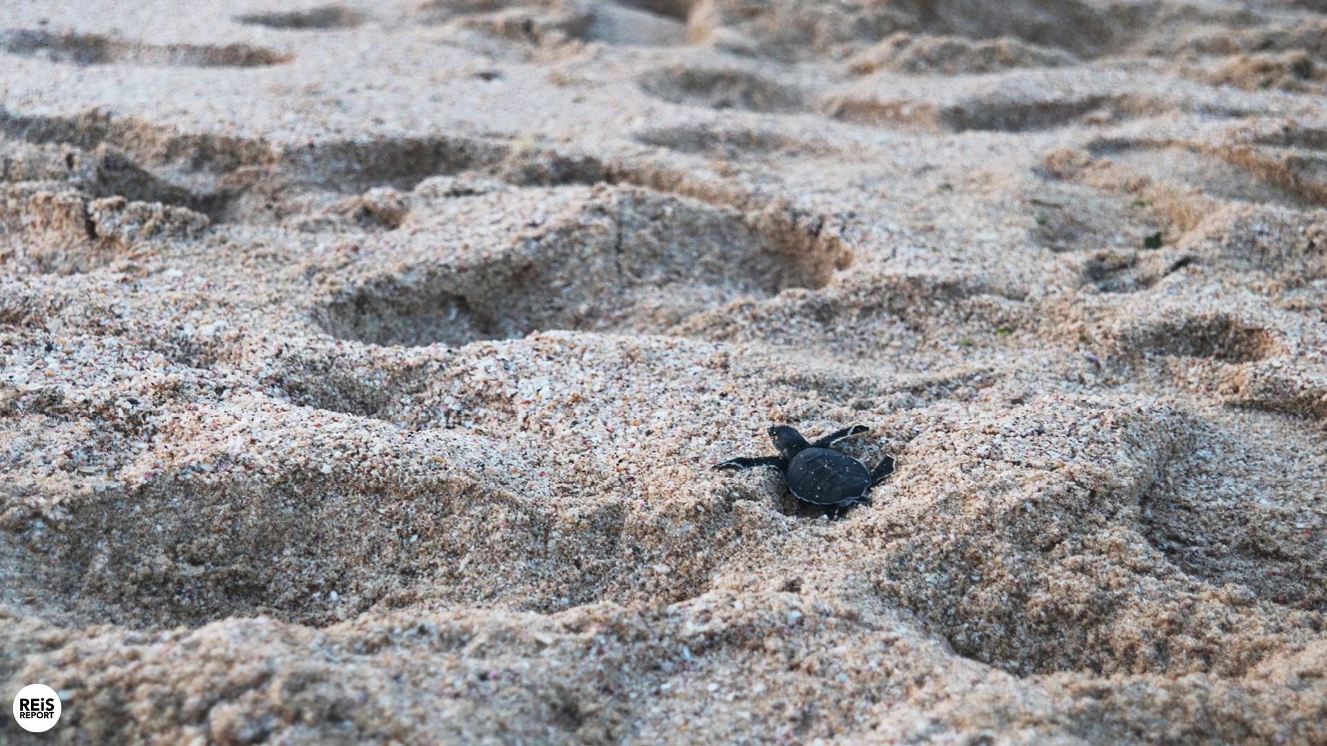 ras al jinz groene zeeschildpad