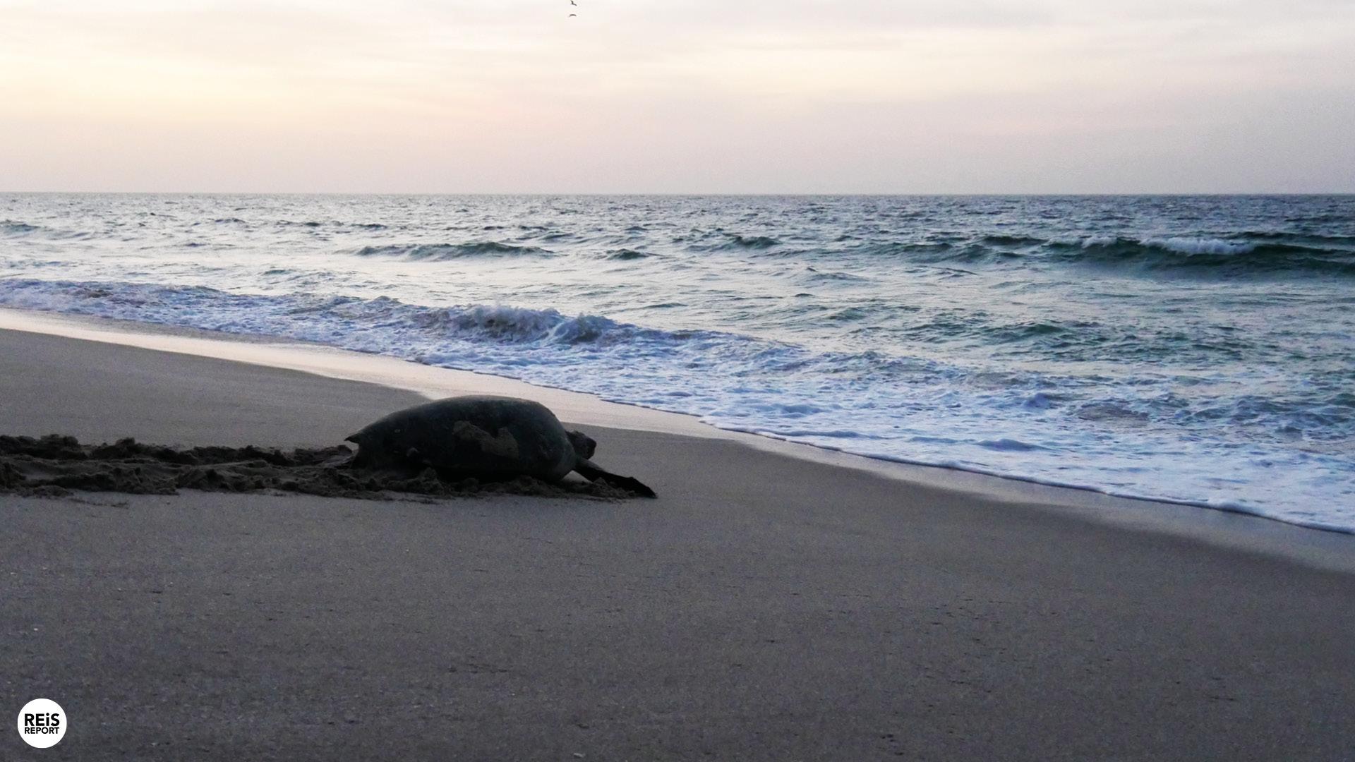 zeeschildpadden in oman