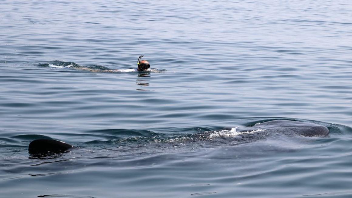 Muscat, zwemmen met walvishaaien, Oman