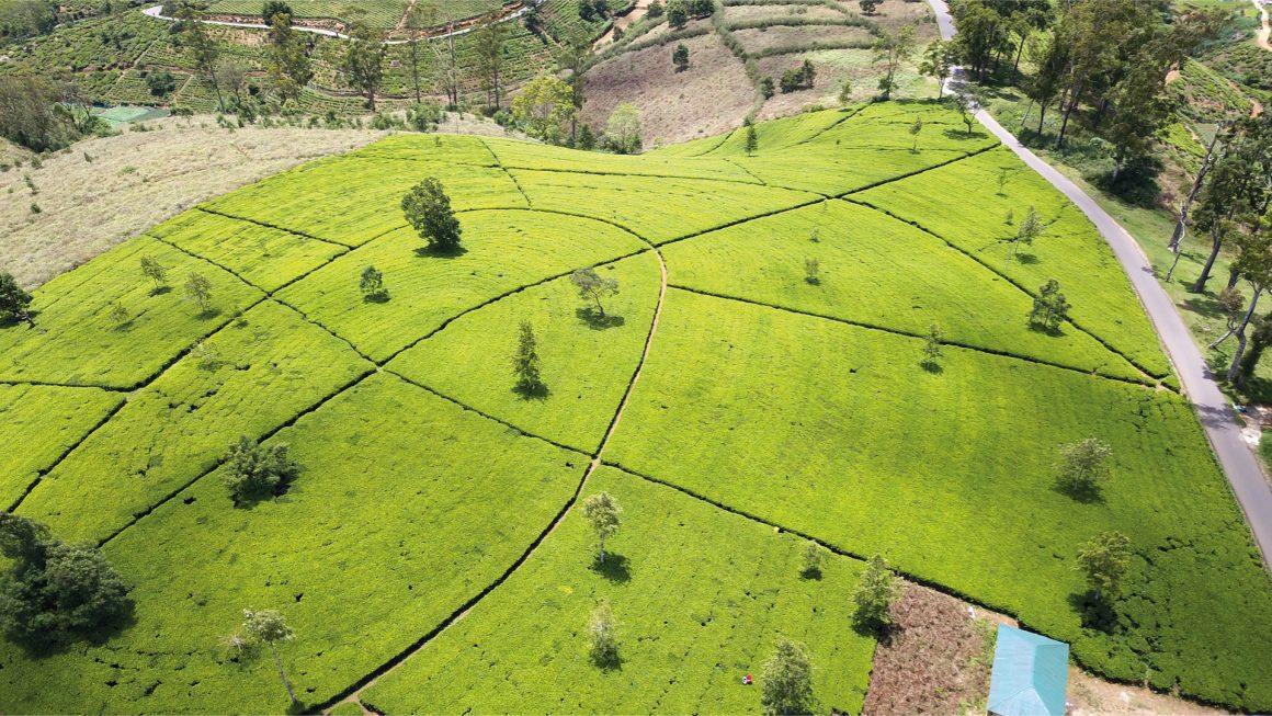 Nuwara Eliya, theevelden en world's end, Sri Lanka