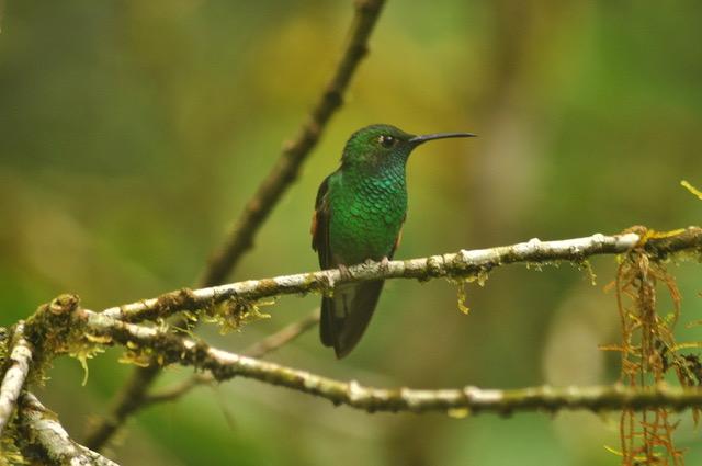 kolibrie_monteverde