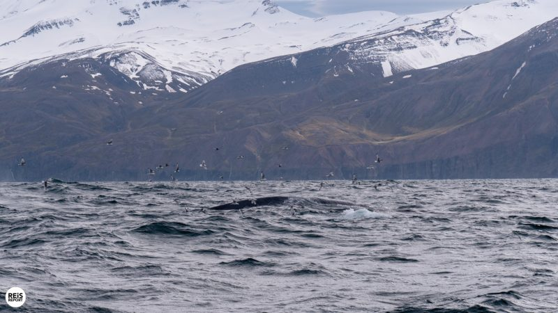 husavik walvissen spotten