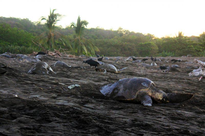 zeeschildpadden costa rica