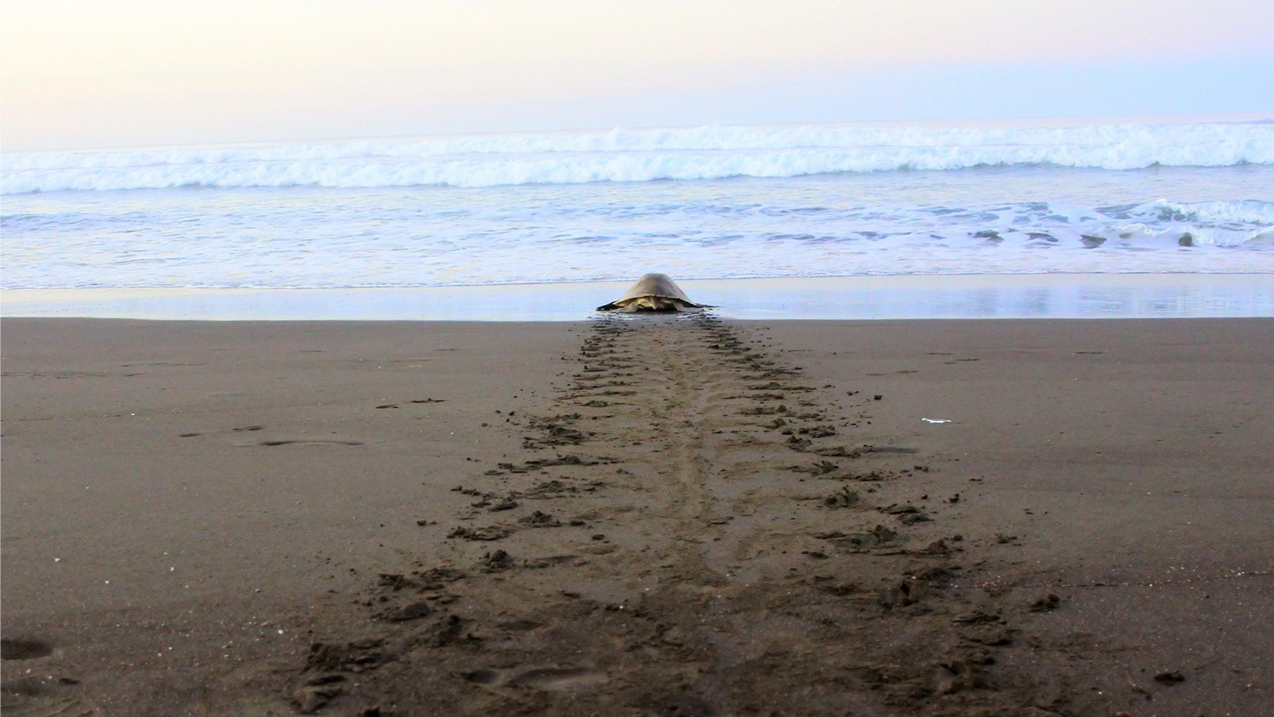 zeeschildpadden in costa rica arribada