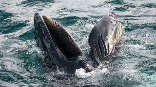 walvissen-onderzoek-ijsland