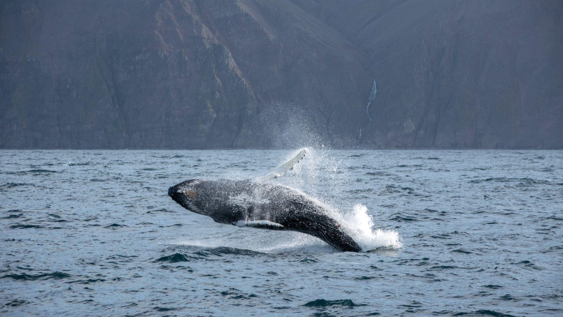 walvissen-onderzoek-ijsland-husavik